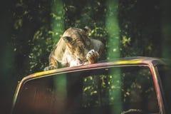 Lwica bierze skąpanie Obrazy Royalty Free