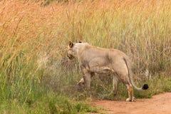Lwica budzi się w trawę Obraz Stock