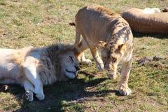 Lwica chodzi wokoło łgarskiego lwa obrazy royalty free