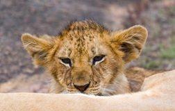 Lwica i jej lisiątko na dużej skale Park Narodowy Kenja Tanzania mara masajów kmieć obrazy stock