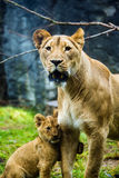 Lwica i jej lisiątko Zdjęcia Stock
