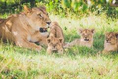 Lwica i lisiątko relaksuje w trawie Lisiątko rozciąga jego nogi obrazy royalty free