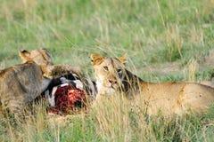 Lwica i lisiątko z zwłoka Obraz Royalty Free
