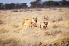 Lwica i lisiątko w Etosha parku narodowym, Namibia, Afryka Zdjęcia Royalty Free