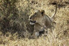 Lwica kłaść w trawie na ostrzeżeniu obraz royalty free