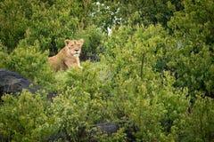 Lwica kłama na skalistym kopu z krzakami Fotografia Royalty Free