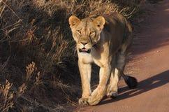 Lwica krzyżuje drogę podczas gdy obserwujący ja Obraz Royalty Free