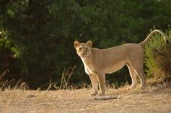 Lwica, Masai Mara Zdjęcia Royalty Free