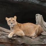 Lwica na drzewnym bagażniku Zdjęcia Stock