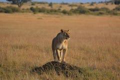 Lwica na punkcie obserwacyjnym Obraz Stock