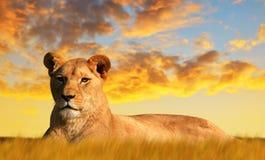 Lwica na sawannie przy zmierzchem zdjęcia royalty free