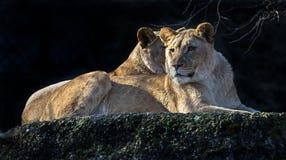 Lwica na skale obrazy stock