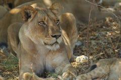 Lwica obserwuje otoczenia Fotografia Stock