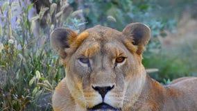 Lwica oddycha ciężko po dzikiego polowania zbiory wideo
