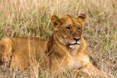 Lwica odpoczywa na trawie Kenja Obraz Royalty Free