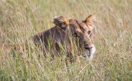 Lwica odpoczywa w trawie Fotografia Royalty Free