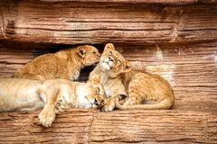 Lwica odpoczywa z dwa młodymi lisiątkami na rockowym wypuscie zdjęcia stock