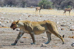 Lwica (Panthera Leo) Obraz Royalty Free