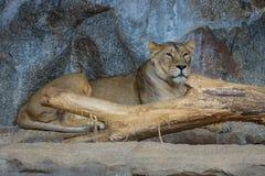 lwica (Panthera Leo) Fotografia Stock