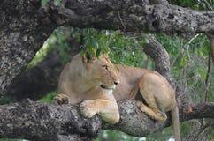 Lwica (Panthera Leo krugerii) w drzewie Zdjęcia Stock
