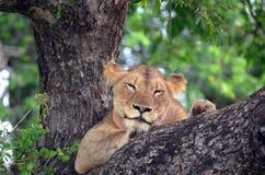 Lwica (Panthera Leo krugerii) w drzewie Obrazy Royalty Free