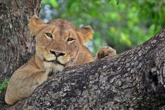 Lwica (Panthera Leo) w drzewie Zdjęcie Royalty Free