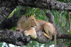 Lwica (Panthera Leo) w drzewie Obraz Royalty Free