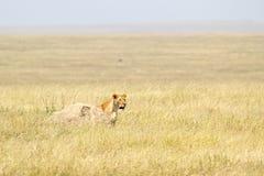 Lwica patrzeje za kamieniem Obrazy Stock