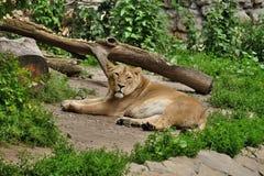 Lwica po posiłku Obraz Royalty Free