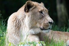 Lwica portret obraz stock