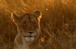 Lwica portret w ranku świetle Obrazy Royalty Free