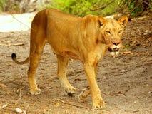 Południowi afrykańscy zwierzęta Obraz Royalty Free
