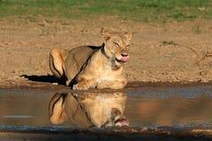 Lwica przy waterhole Obrazy Stock