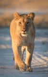 Lwica, Savuti, Botswana Zdjęcia Royalty Free