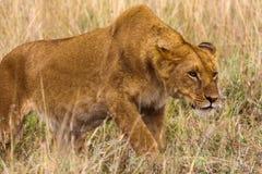 Lwica skrada się do zdobycza Kenja Zdjęcie Stock