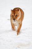 Lwica W śniegu fotografia stock