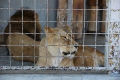 Lwica w klatce Zdjęcie Stock