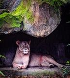 Lwica w klatce zdjęcia royalty free