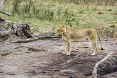 Lwica w Kruger parku narodowym, Południowa Afryka Zdjęcie Stock