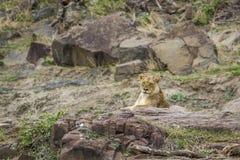Lwica w Kruger parku narodowym, Południowa Afryka Obraz Royalty Free