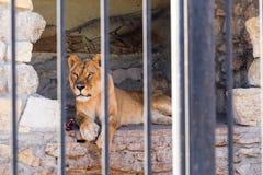Lwica w niewoli w zoo za barami Władza i agresja w klatce Obrazy Royalty Free