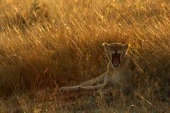 Lwica w ranek świetle Fotografia Stock