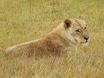 Lwica w trawie obrazy royalty free