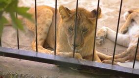 Lwica wewn?trz w klatki spojrzeniach przez woliery Lwica jest odpoczynkowa w zoo wolierze, grupa lwy odpoczywa wewn?trz zbiory