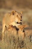 Lwica z lisiątkami Zdjęcia Stock