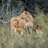 Lwica z lisiątkami Zdjęcie Royalty Free