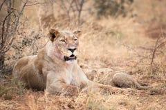Lwica z lisiątkiem Zdjęcia Stock