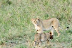 Lwica z lisiątkiem Obraz Stock
