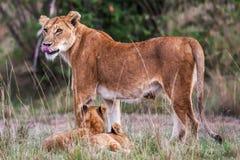 Lwica z młodymi lwów lisiątkami w trawie, Afryka (Panthera Leo) Zdjęcia Royalty Free
