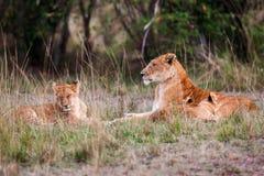 Lwica z młodymi lwów lisiątkami w trawie, (Panthera Leo) Fotografia Stock